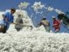 Cotton from Tajikistan
