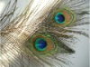 Peacock feather, feather extensions, feather dress, tail feather,