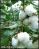 Raw cotton Uzbekistan