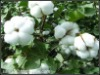 Raw cotton textile