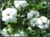 Raw cotton textile
