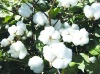 Wullar Cotton