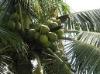coconut bran